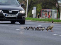 утки перекрыли дорогу варшава