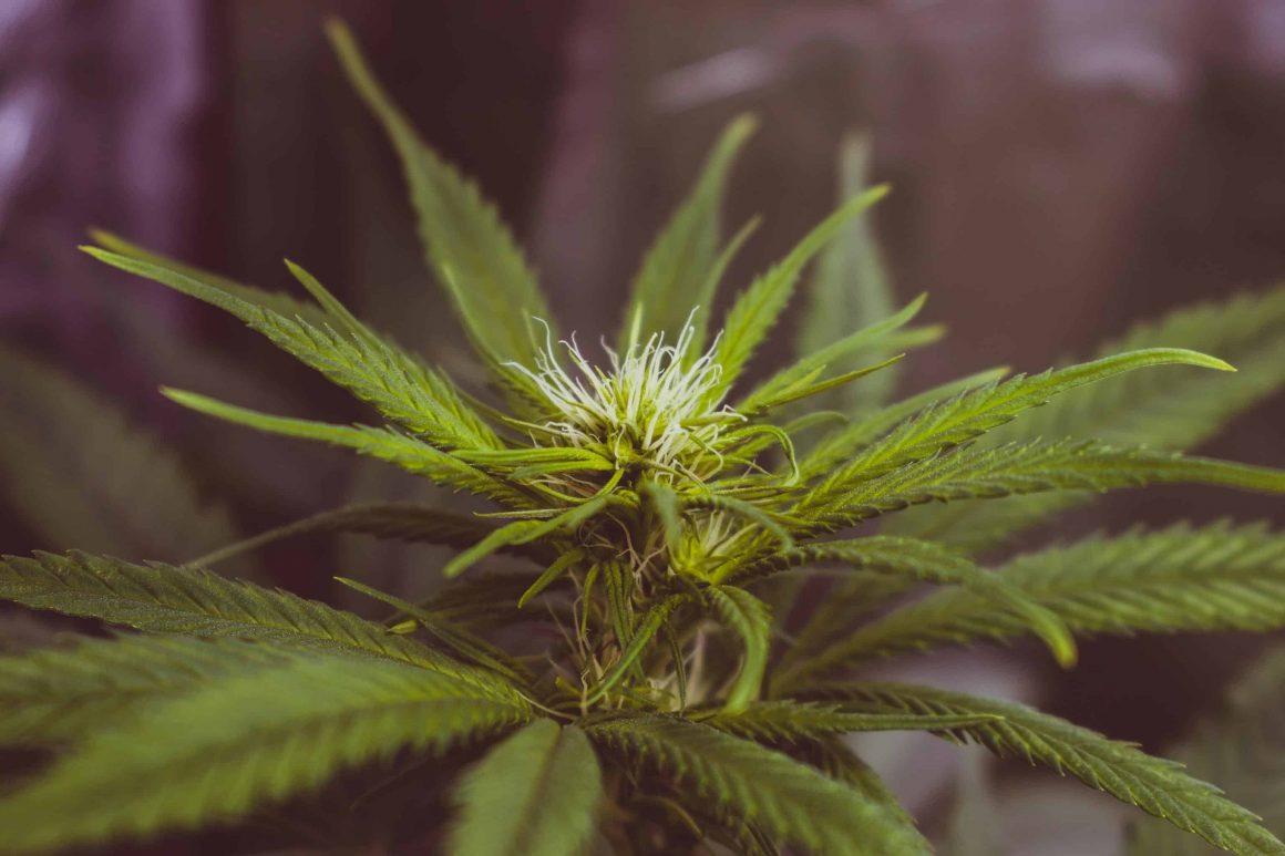 марихуана варшава
