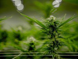 марихуана польша коронавирус