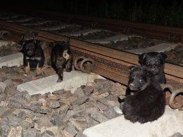 Недавно, кто-то вывез 9 щенков в поле и оставил на железнодорожных путях. К счастью, в тот вечер мимо этой железной дороги проезжал велосипедист, который заметил щенят и позвонил в соответствующую службу.