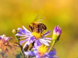 В Польше обитает 470 видов пчел, 222 из них находятся под угрозой вымирания.