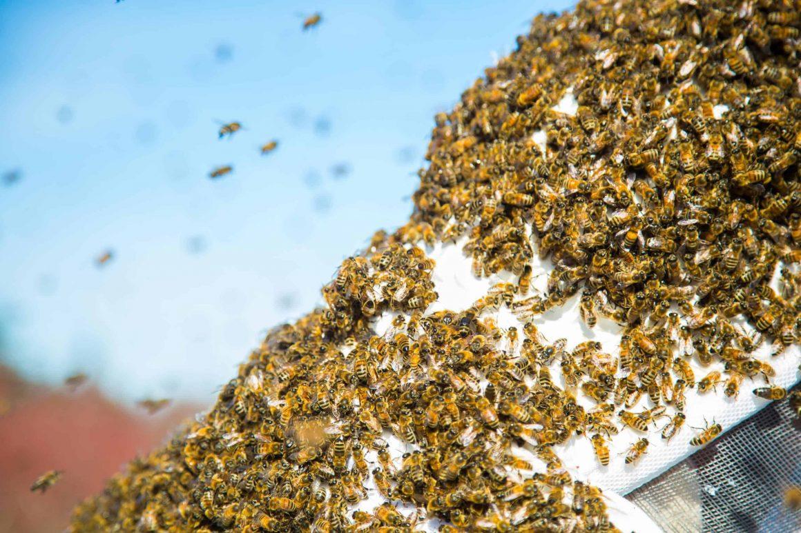 Каждый летний день в кафе старого города заходят отдохнуть сотни самых разных гостей. Как раз в одном из таких кафе в субботу решил отдохнуть целый рой пчёл.