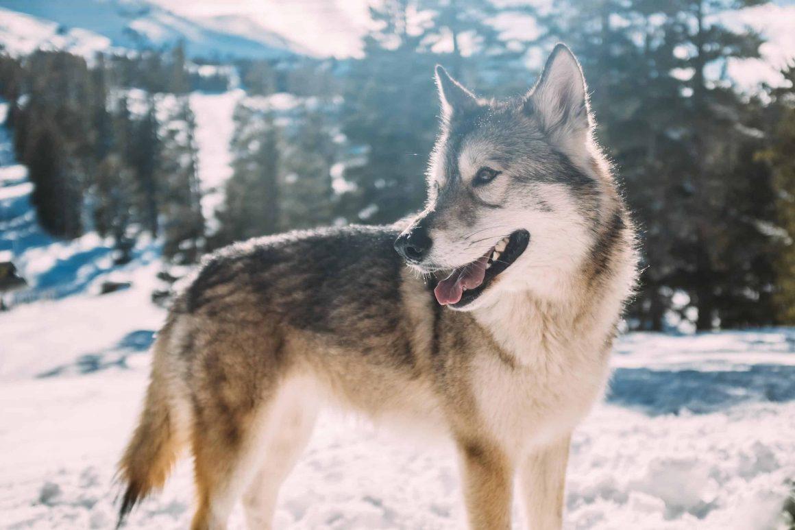 Кампиноский национальный парк сообщил, что на их территории появилась вторая стая волков. На данный момент ведутся исследования, пришли ли животные с других территорий либо местная стая решила разделиться.