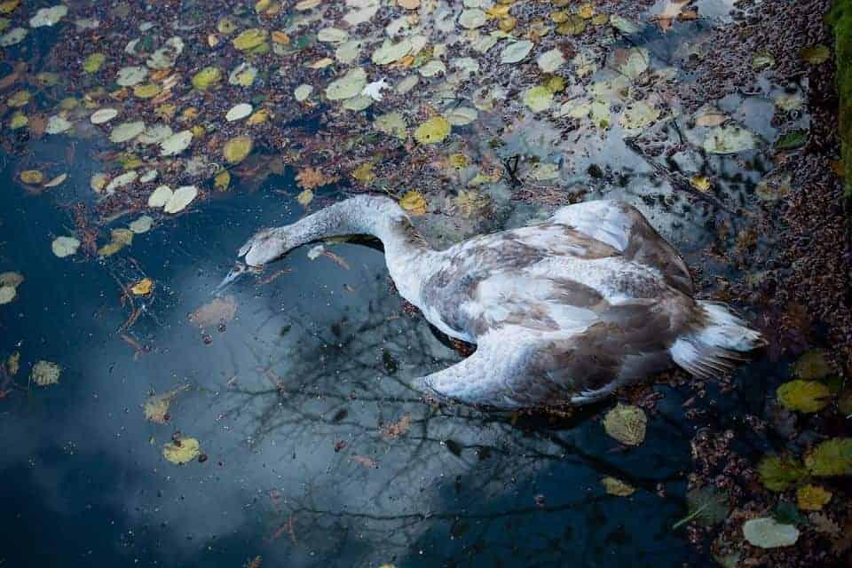 В Жераньском канале, на высоте улицы Bobrowa 14, был найден мёртвый лебедь. Осмотр выявил присутствие вируса птичьего гриппа типа H5N8.