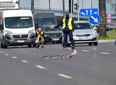 Первая в этом году самка крохаля с птенцами удачно пересекла Вислостраду в сопровождении городской стражи, полиции и папарацци.