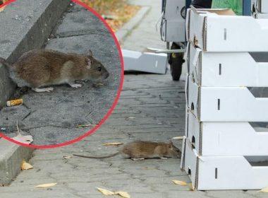 крысы в варшаве
